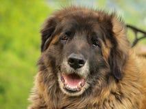 σκυλί leonberger Στοκ εικόνες με δικαίωμα ελεύθερης χρήσης