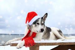 Σκυλί Malamute σε ένα κόκκινο καπέλο santa Στοκ φωτογραφία με δικαίωμα ελεύθερης χρήσης