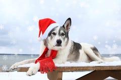 Σκυλί Malamute σε ένα κόκκινο καπέλο santa Στοκ εικόνες με δικαίωμα ελεύθερης χρήσης