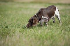 σκυλί munsterlander Στοκ φωτογραφίες με δικαίωμα ελεύθερης χρήσης