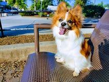 σκυλί papillon στοκ εικόνες με δικαίωμα ελεύθερης χρήσης