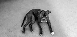 Σκυλί Pitbull στοκ φωτογραφία