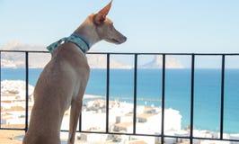 Σκυλί Podenco που φαίνεται τοπίο στοκ εικόνα