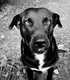 Σκυλί pokerface Στοκ Εικόνες