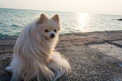 Σκυλί Pomeranian με τη θάλασσα στοκ εικόνες