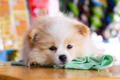 Σκυλί Pomeranian που κοιτάζει προς τα εμπρός στοκ εικόνα
