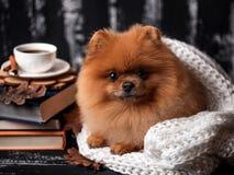 Σκυλί Pomeranian που τυλίγεται επάνω σε ένα κάλυμμα Ένας σωρός των βιβλίων και ενός φλιτζανιού του καφέ Όμορφο σκυλί με τα βιβλία Στοκ Εικόνα