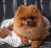 Σκυλί Pomeranian που τυλίγεται επάνω σε ένα κάλυμμα Ένας σωρός των βιβλίων και ενός φλιτζανιού του καφέ Όμορφο σκυλί με τα βιβλία Στοκ Φωτογραφία