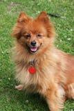 σκυλί pomeranian Στοκ Φωτογραφία