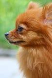 σκυλί pomeranian Στοκ Εικόνες