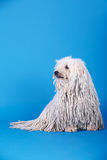 Σκυλί Puli στοκ εικόνες