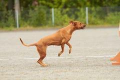Σκυλί Rhodesian στοκ εικόνες