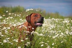 Σκυλί Ridgeback Rhodesian στοκ φωτογραφία με δικαίωμα ελεύθερης χρήσης