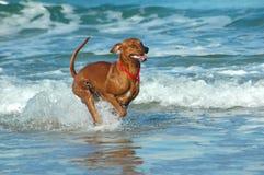 Σκυλί Ridgeback Rhodesian Στοκ Εικόνες