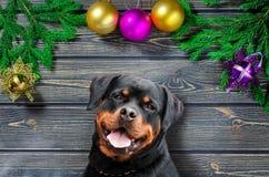 Σκυλί Rottweiler με το δέντρο του FIR Χριστουγέννων στο ξύλινο υπόβαθρο Στοκ Εικόνα