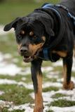 σκυλί rottweiler που τρέχει Στοκ Φωτογραφία