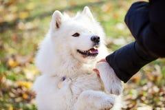 Σκυλί Samoyed που δίνει το πόδι στον ιδιοκτήτη στο πάρκο φθινοπώρου στοκ φωτογραφία με δικαίωμα ελεύθερης χρήσης