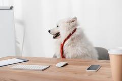 Σκυλί Samoyed στη γραβάτα στον εργασιακό χώρο στοκ φωτογραφίες