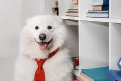 Σκυλί Samoyed στη γραβάτα στον εργασιακό χώρο στοκ εικόνες