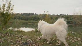Σκυλί Samoyed στο πάρκο απόθεμα βίντεο