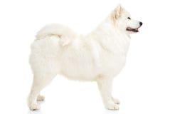 Σκυλί Samoyed Στοκ φωτογραφίες με δικαίωμα ελεύθερης χρήσης