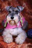σκυλί schnauzer Στοκ φωτογραφίες με δικαίωμα ελεύθερης χρήσης
