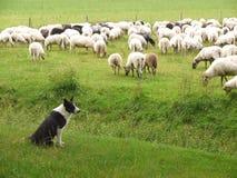 Σκυλί Sheperd Στοκ Φωτογραφία