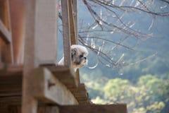 Σκυλί shih-Tzu που στέκεται στο μπαλκόνι του σπιτιού και εξετασμένος το βουνό στοκ φωτογραφία με δικαίωμα ελεύθερης χρήσης