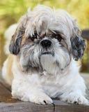 Σκυλί Shihtzu στοκ φωτογραφία με δικαίωμα ελεύθερης χρήσης