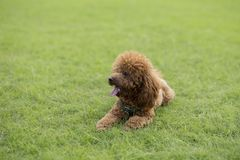 Σκυλί Teddy Στοκ φωτογραφίες με δικαίωμα ελεύθερης χρήσης