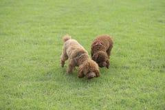 Σκυλί Teddy Στοκ Εικόνες