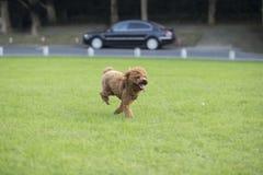 Σκυλί Teddy Στοκ εικόνες με δικαίωμα ελεύθερης χρήσης