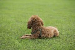 Σκυλί Teddy Στοκ εικόνα με δικαίωμα ελεύθερης χρήσης