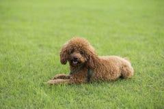 Σκυλί Teddy Στοκ Φωτογραφίες