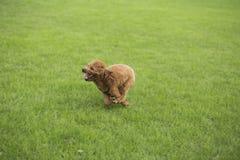 Σκυλί Teddy Στοκ Εικόνα