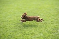 Σκυλί Teddy Στοκ Φωτογραφία