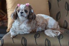 Σκυλί Tzu Shih που βρίσκεται σε μια καρέκλα στοκ φωτογραφία με δικαίωμα ελεύθερης χρήσης