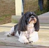 Σκυλί tzu Shih Στοκ Φωτογραφία
