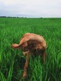 Σκυλί 2 Vizsla στοκ εικόνα με δικαίωμα ελεύθερης χρήσης