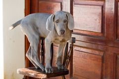 σκυλί weimaraner Στοκ Εικόνες