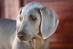 σκυλί weimaraner στοκ φωτογραφία