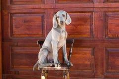 σκυλί weimaraner Στοκ φωτογραφίες με δικαίωμα ελεύθερης χρήσης