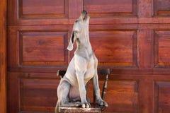 σκυλί weimaraner Στοκ Εικόνα