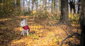 Σκυλί Westie στοκ εικόνα με δικαίωμα ελεύθερης χρήσης
