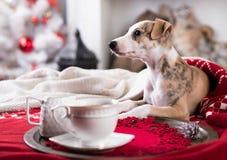 Σκυλί Whippet και καφές φλυτζανιών Στοκ φωτογραφία με δικαίωμα ελεύθερης χρήσης