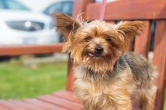 Σκυλί Yorkie με τη γλώσσα έξω σε έναν πάγκο στοκ εικόνες