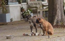 σκυλιά αστεία Στοκ Εικόνες
