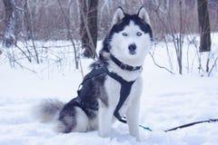 Σκυλιά ελκήθρων στο χιόνι στοκ εικόνα με δικαίωμα ελεύθερης χρήσης