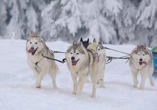 Σκυλιά ελκήθρων το χειμώνα Στοκ φωτογραφία με δικαίωμα ελεύθερης χρήσης