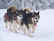 Σκυλιά ελκήθρων το χειμώνα Στοκ Εικόνες